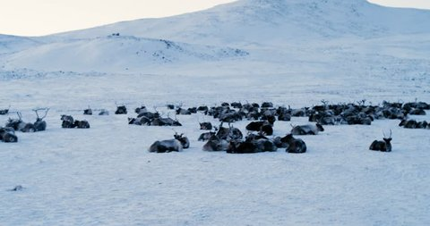 Aerial view of herd of reindeer, which ran on snow in tundra. Red Epic. 4k