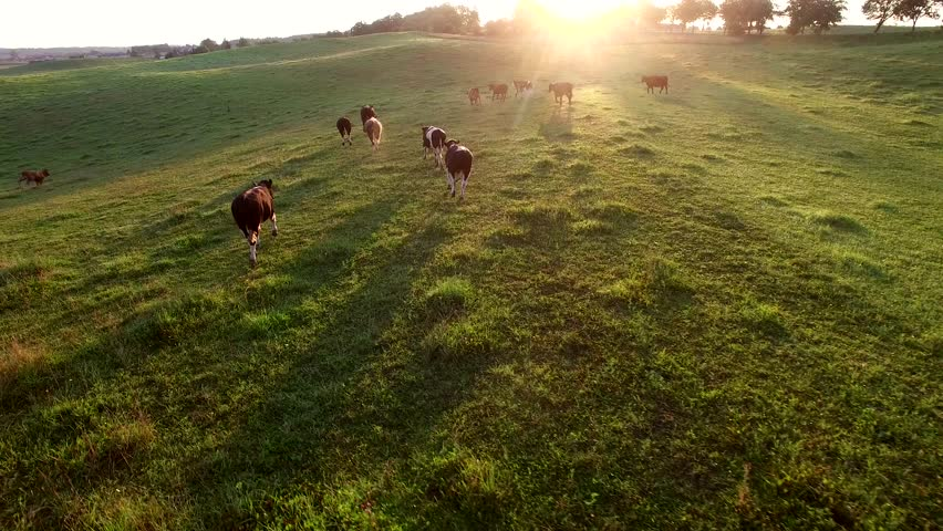 Aerial Herd of Cows Running on Pasture at Sunrise