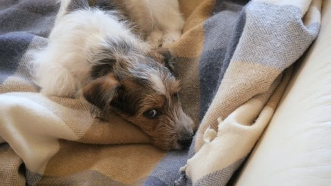 Birds eye view of a scruffy Jack Russell Terrier napping on a wool blanket. The autumn scene is peaceful and warm. The sweet puppy was rescued from a puppy mill  and now has a loving family.