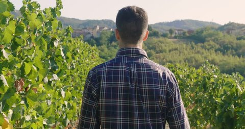 Man in September to harvest vineyards ,check and  collects the selected grape bunches in Italy for the great harvest. bio concept, organic food, nature and fine wine handmade