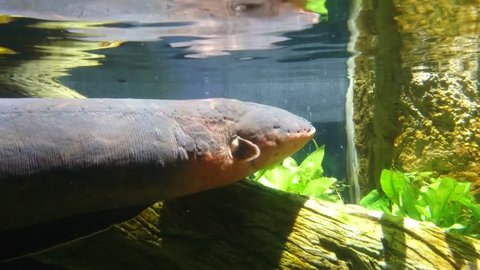 Electric eel (Electrophorus electricus) rises to the water surface and breathes in air. It has cylindrical olive brown body with elongated anal fins which help it propels or moves backward in water.