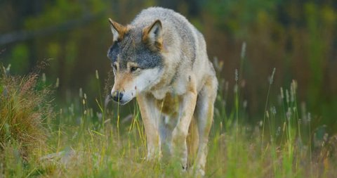 Wild male wolf walking in the grass in the forest