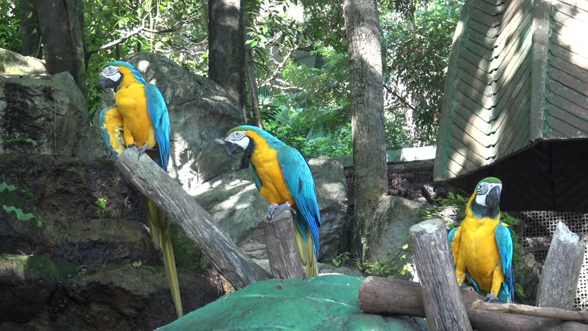 Three Blue and gold macaw relax in public zoo chiangmai Thailand.