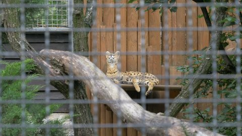 The serval (Leptailurus serval), also known as the tierboskat