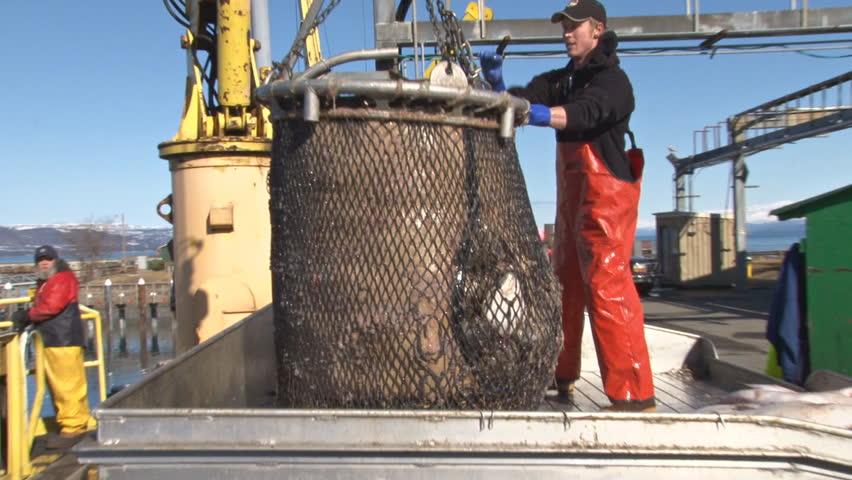 Homer,AK - CIRCA 2011: Dumping the Halibut Bucket