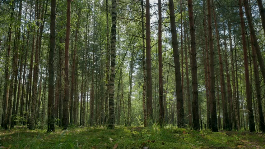 Pine and birch forest on a warm summer day