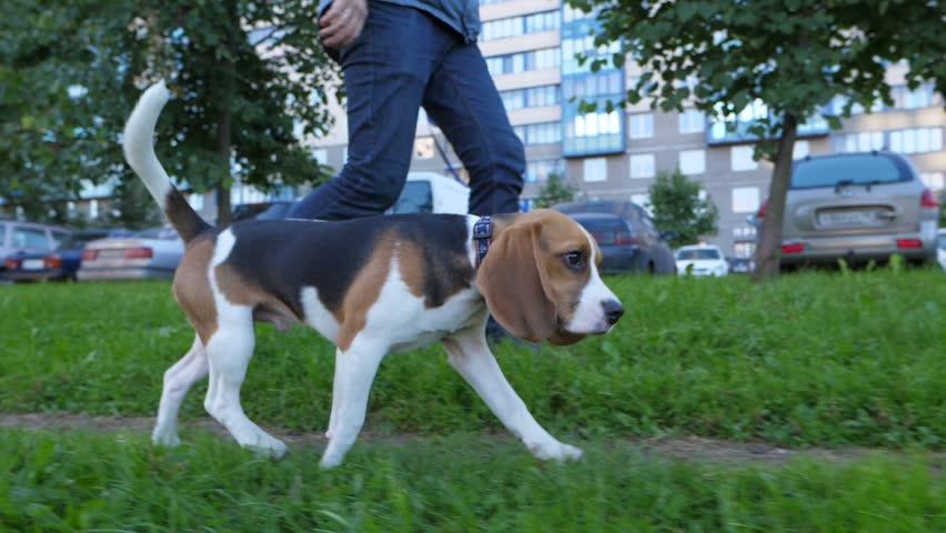 Wonderful Small Leg Beagle Adorable Dog - 9  HD_656012  .resize(height:160)