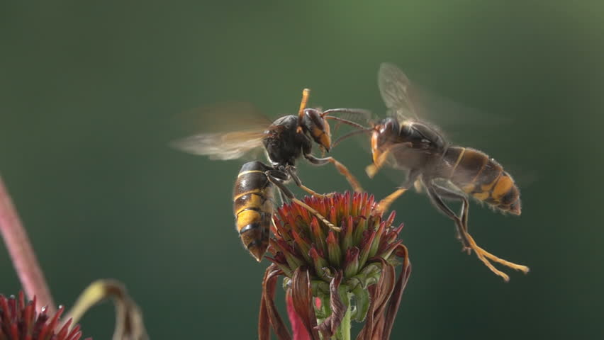 Wasps funny  bees encounter  hornets