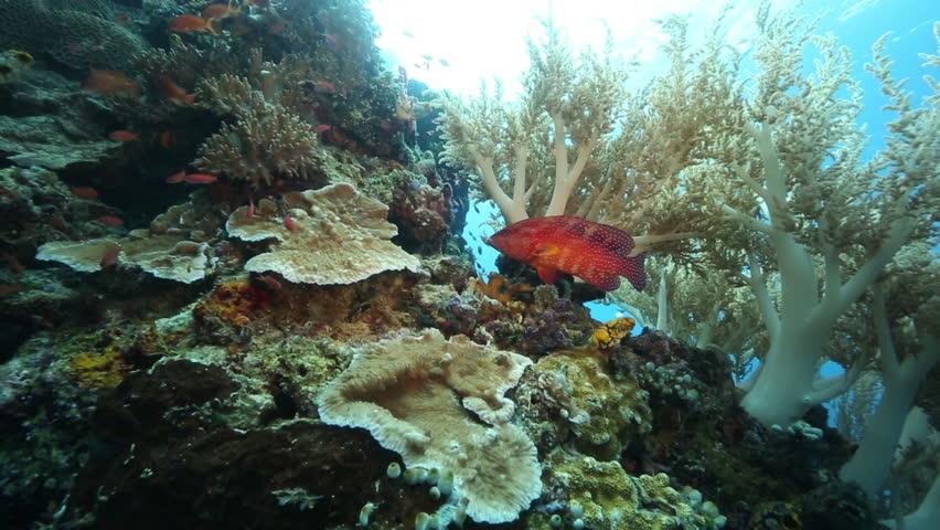 Coral grouper and anthias fish swim around tree coral at Kakaban Island, Kalimantan #31386994