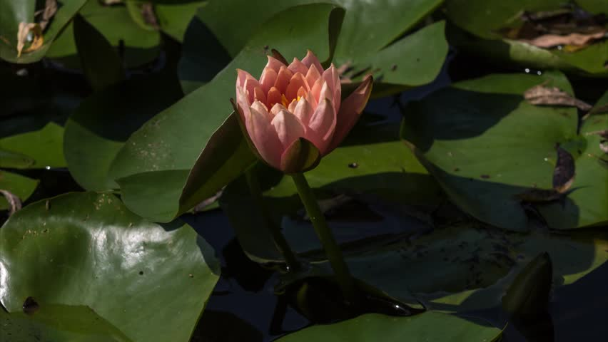 Pink water lily time-lapse | Shutterstock HD Video #31399894