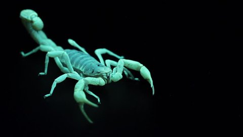 Displacement of a scorpion, under ultraviolet light and with black background.