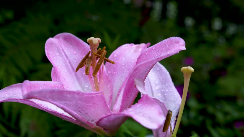 Header of Amaryllis Belladonna