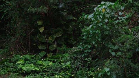 Medium shot, thick, tropical vegetation, lock off for plate.
