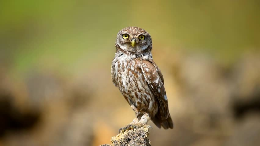The little owl is on the stone on a beautiful background. | Shutterstock HD Video #31552384