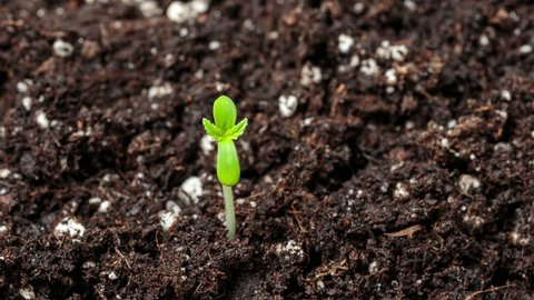 Newborn marijuana plant sprouts from ground and grows toward the sunlight. Amazing time lapse of first day in life cycle of a cannabis plant