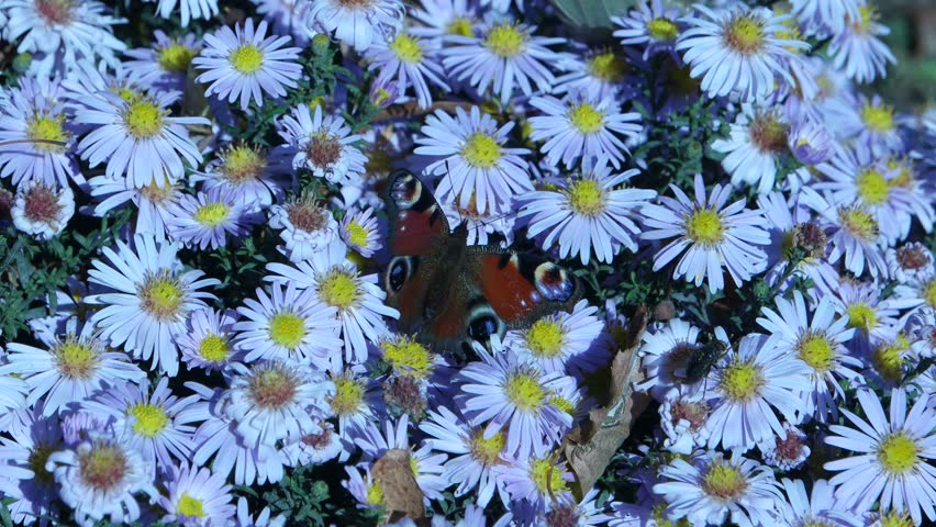 The bees and peacock butterfly, flying over flowers of the alpine aster