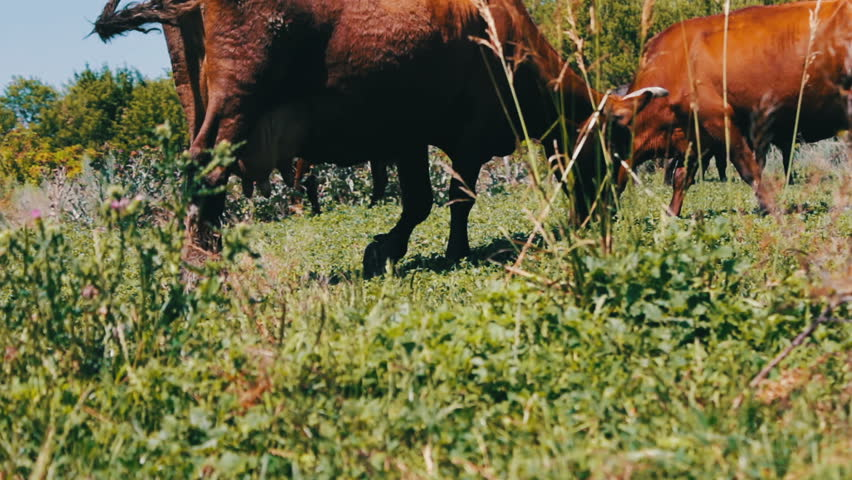 Farm cattle grazing in pasture. Grazing in field. Milk cow eating grass. Dairy cow eat grass.