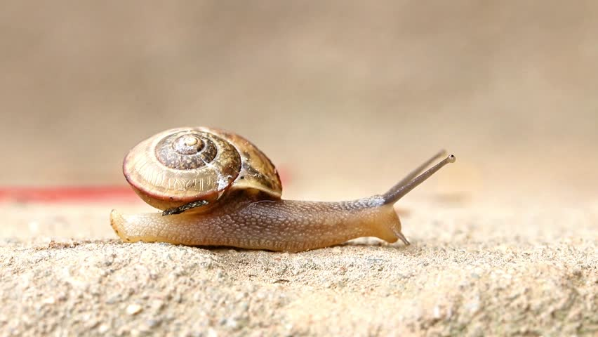 The snail is crawling on the stone. Snail is crossing the street. Snail crawling over stone staircase. Macro of small snail crawling in nature.