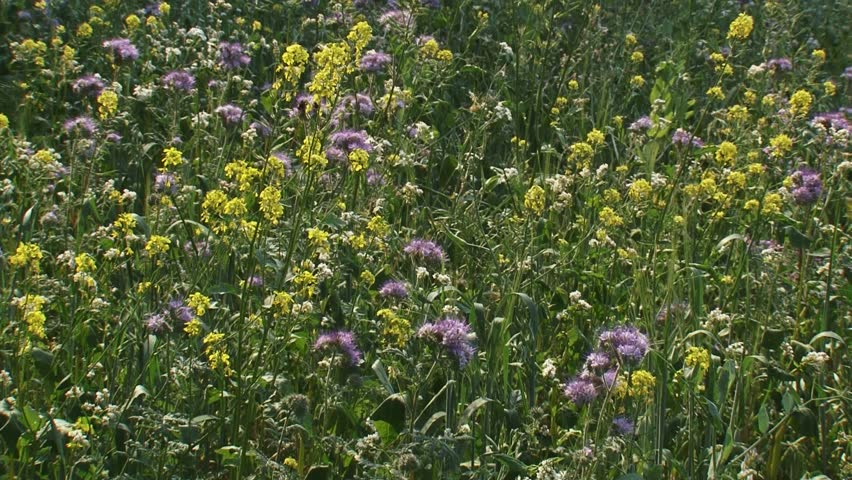 hold + pan. Field edge with wild flowers. Sowing diverse weed flora alongside field edges, provides opportunities for insects, birds and other small animals.