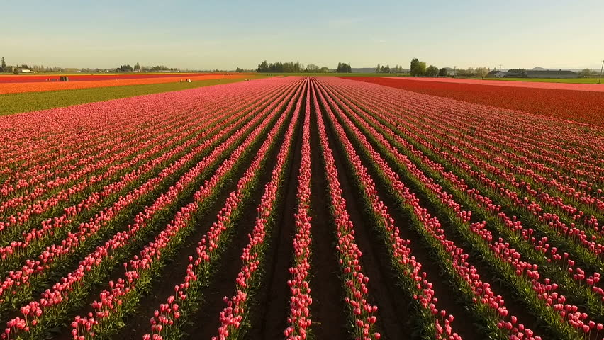 Pink Tulips Bend Towards Sunlight Floral Agriculture Flowers