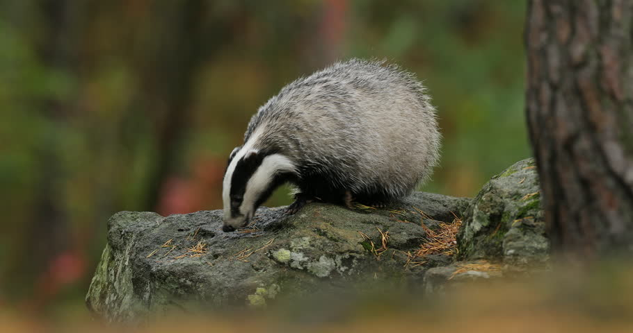 Badger in green forest, animal in nature habitat, Germany, central Europe. Wildlife scene from nature. Animal in wood. Cute black white grey mammal feeding blueberry, badger behaviour. Badger meadow.