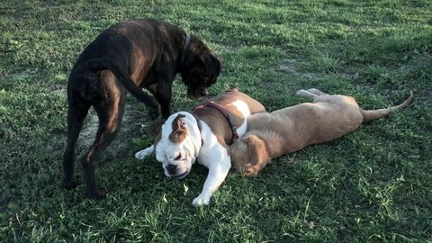 Three dogs, of which two young female molossoid dogs (English Bulldog and Boxer), play together vivaciously in the park
