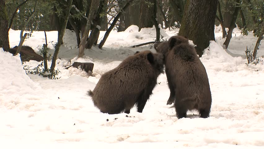 Wild boars fighting in snow