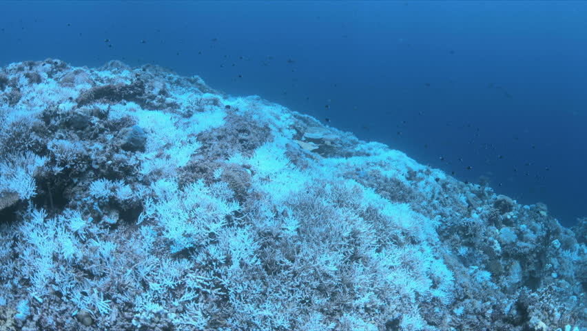 Coral bleaching is the result of water heating. Above-average seawater temperatures caused by global warming have been identified as a leading cause of coral bleaching worldwide