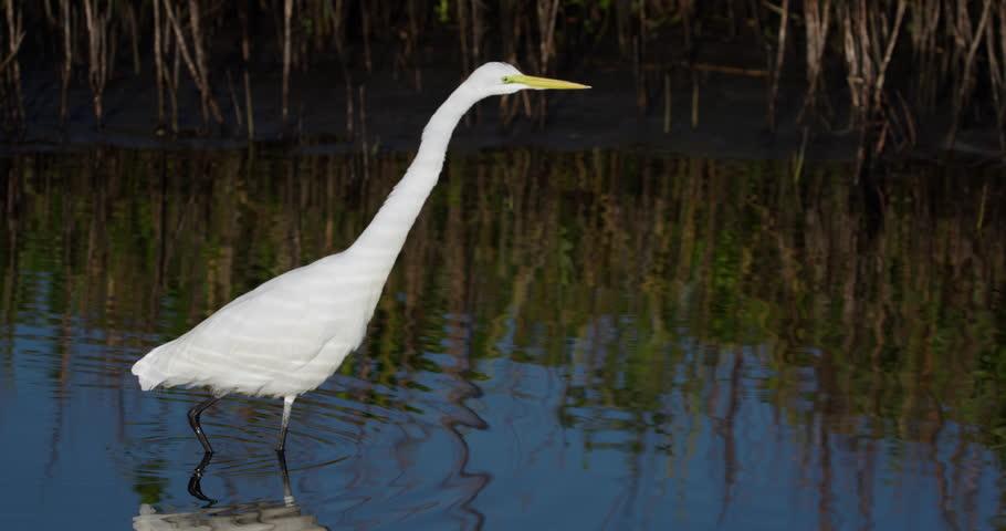 Great white egret walking in wetland pond marsh