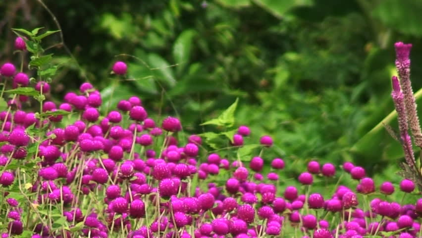 Colorful small round flower blooming stock footage video 100 browse video categories mightylinksfo