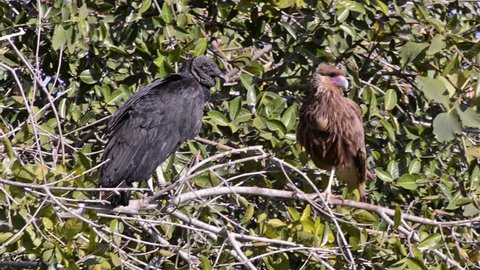 Black Vulture (Coragyps atratus) and Southern Caracara (Caracara plancus) together in the same tree. Image in the Pantanal Biome. Mato Grosso do Sul state, Central-Western - Brazil.