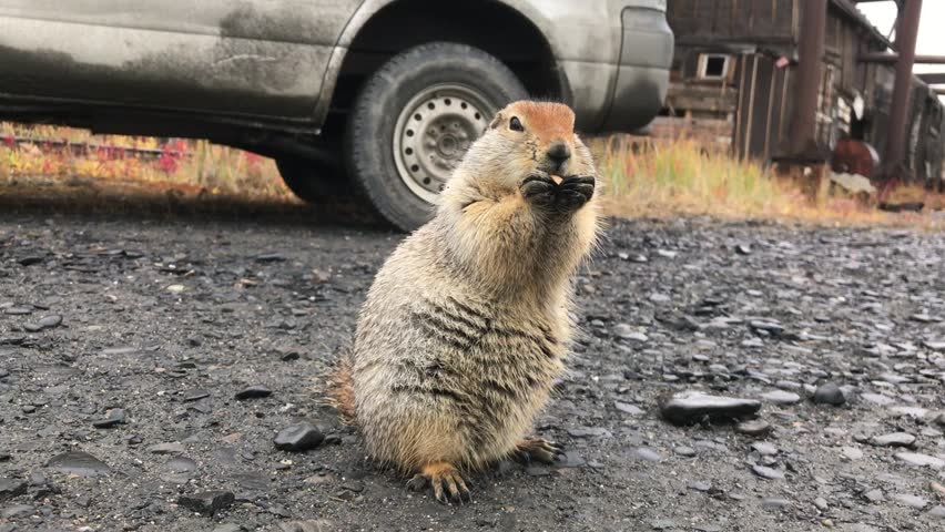 Little fluffy American gopher funny eating gnawing food.