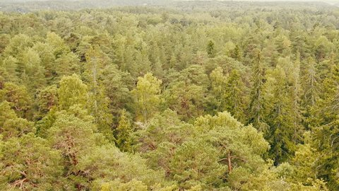 Pure coniferous forest, boreal coniferous forest, taiga, top view and side view. Scandinavia, Northland. So look most Finnish, Norwegian, Swedish forests, gymnospermous wood; softwood