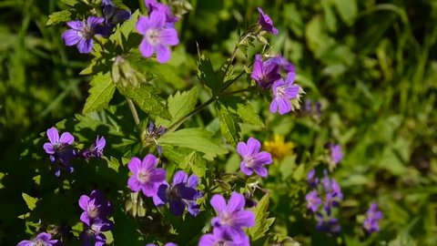 Wild Cranesbill in the fiel in summer sunny day. Geranium pratense close up footage shooting static camera.