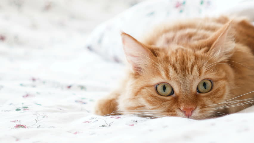 Cute ginger cat lying in bed. Fluffy pet comfortably settled to sleep under blanket, then suddenly attacked something behind the scene. Cozy home background with funny pet | Shutterstock HD Video #32204764