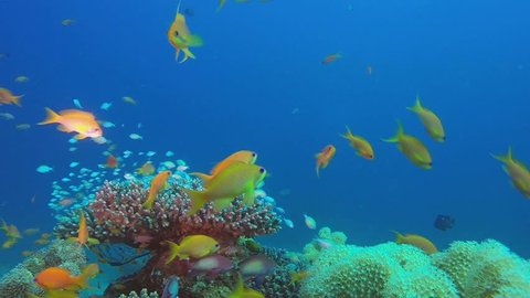 Beautiful Marine Fishes Scene. Picture of beautiful underwater colorful fishes and beautiful soft and hard corals in the tropical reef of the Red Sea, Dahab, Egypt.
