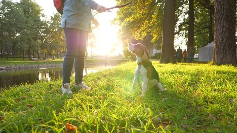 Woman tease young beagle with wooden stick, move it in front of doggy nose. Calm dog sit still and look indifferently, to branch. Slow motion shot, bright sun shine at evening time, green park area