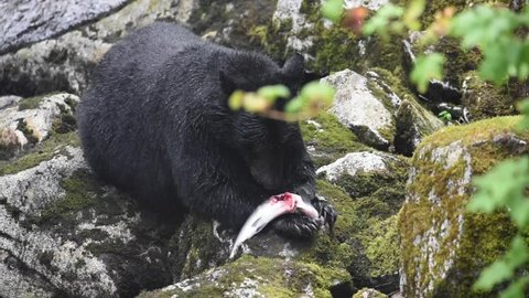 A black bear eating a salmon as it flops around still alive