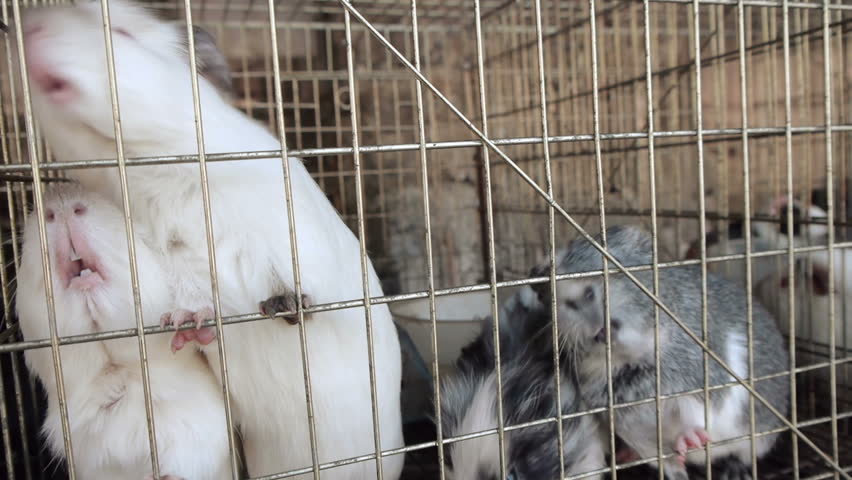Guinea Pigs Caged White and Grey Specimens.