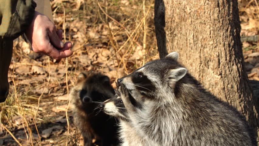 Slow motion: North American racoons take nuts from zookeeper.