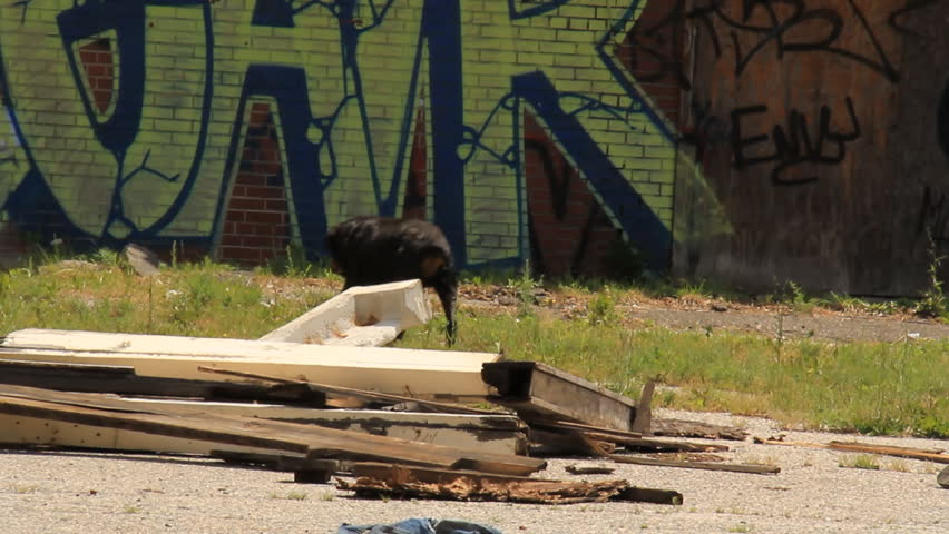 Detroit Wild Dog. Feral rottweiler lurking around an abandoned and dangerous