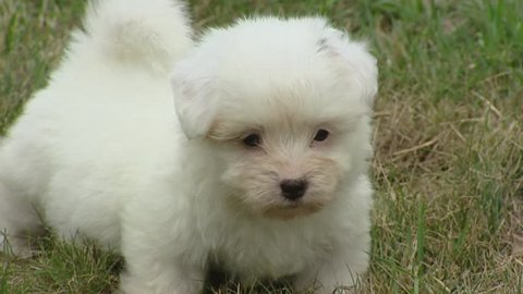 Coton de Tulear, playful puppy on lawn. The Coton has very soft white hair, comparable to a cotton ball.