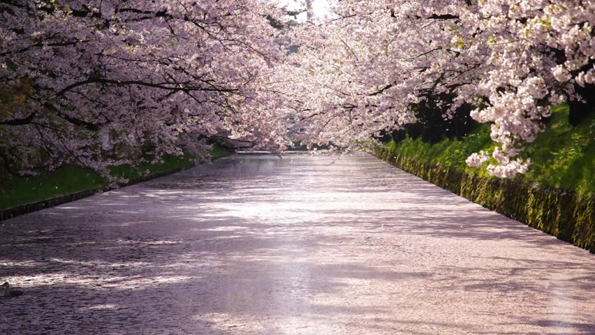 Pink Petals Carpet of cherry blossom and flurry of falling cherry blossoms at  Hirosaki Castle, Aomori, Japan - April, 2017
