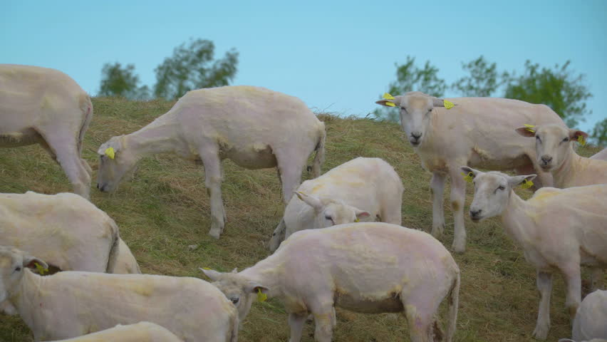 The white sheeps with no more wools on them with the yellow tags on ears walking on the hill in the farm | Shutterstock HD Video #32488984