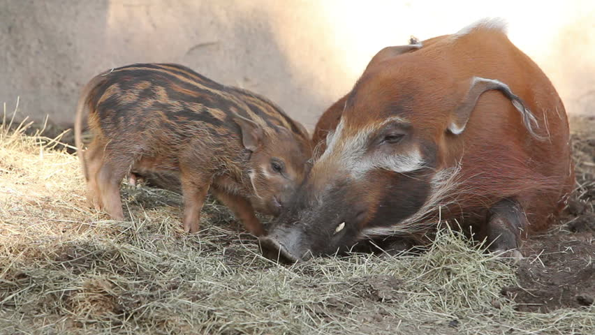 A red river hog sow tends her piglets in a zoo.