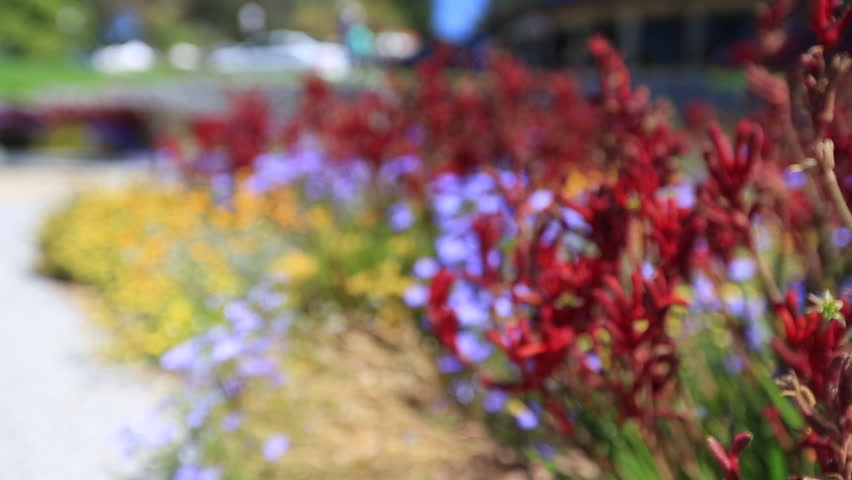 Red Kangaroo paws, Perth city, west of Australia | Shutterstock HD Video #32588011