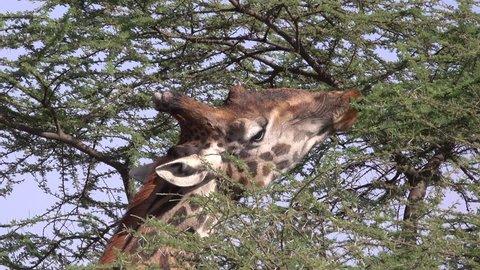 Giraffe eats leafs, Serengeti, Tanzania, Afrika, Close