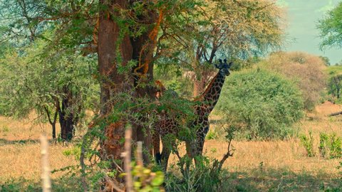Cinematic camera shot of giraffe family feeding and resting in shadows in colorful, dry savanna fields of Tarangire national park in Tanzania, Africa on a bright, hot, sunny day.
