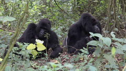 Mountain Gorilla, Silverback with Family, Democratic Republic of Congo, Virunga, Africa