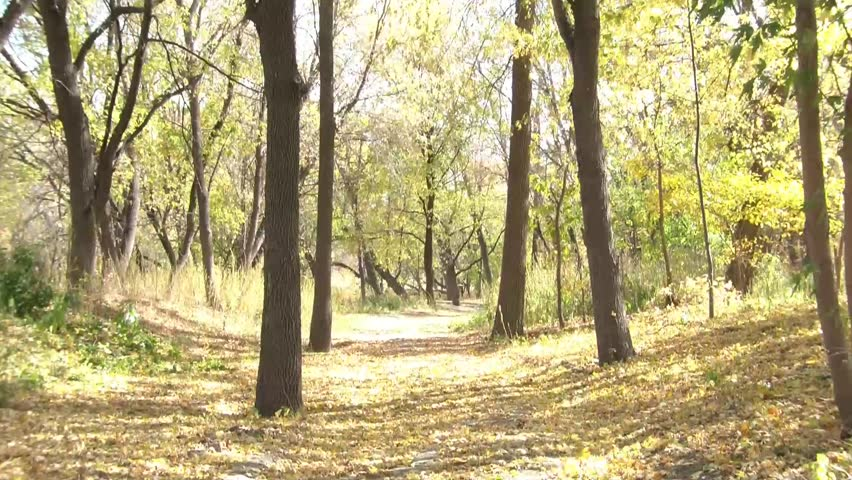 Yellow leaves cover dirt road in this autumn clip with bright sunshine piercing through fall foliage while trees sway in wind.